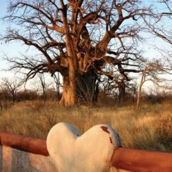 Planet Baobab - Wo die großen Affenbrotbäume stehen!