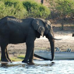 Ein Elefant stillt seinen Durst am Chobe Fluss