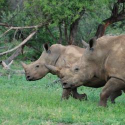 Rhinos in Krüger Nationalpark