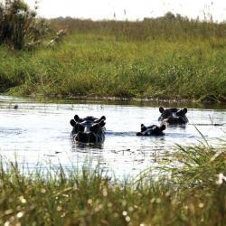 Hippos im Okavango - Selbstfahrer Kalahari Calling