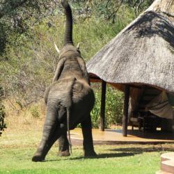 Elefant besucht die Lodge © Wild Horizons