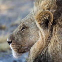 König der Kalahari