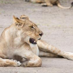 Junge Löwin im Chobe NP