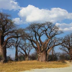 Baines Baobabs in der Trockenzeit