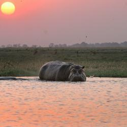 Hippos im Chobe Fluss