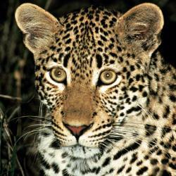 Leopard im Pilanesberg Nationalpark