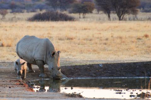 Rhino und Baby am Wasserloch