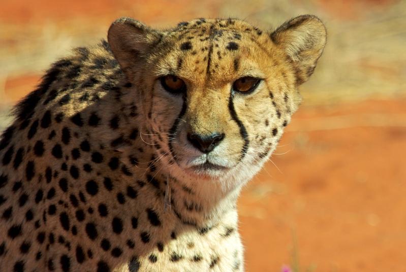 Gepard auf der Bagatelle Ranch