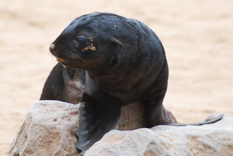 Robbenbabies kommen im Dezember am Cape Cross auf die Welt