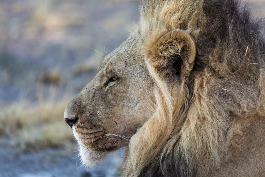 Löwenmännchen in der Kalahari