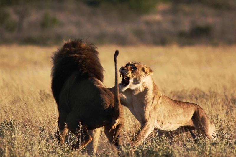 Auseinandersetzung zwischen Löwen