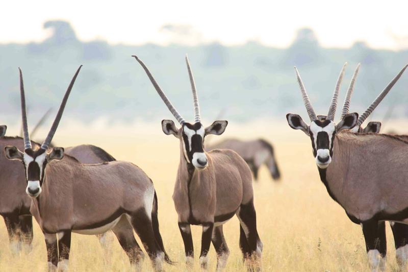 Oryxantilopen in der Kalahari