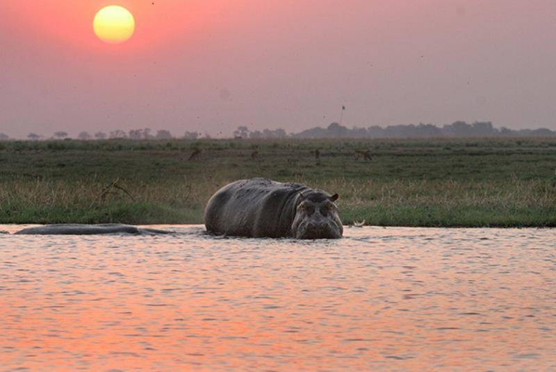 Hippos an der Chobe River Front